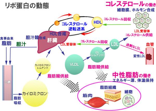 リポ蛋白の動態