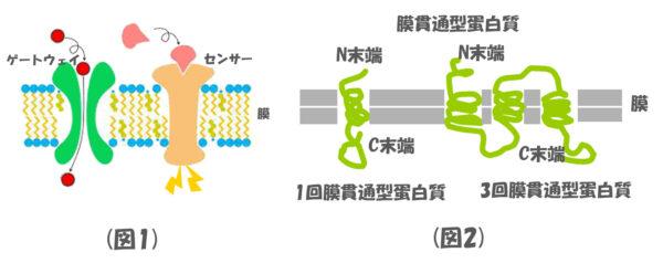 膜貫通型蛋白質